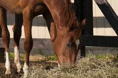 Chestnut Horse Eating Royalty Free Stock Photos