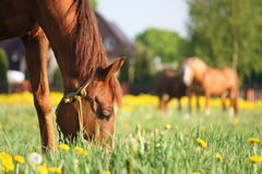 Chestnut horse eating grass at the field Royalty Free Stock Photos