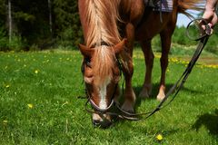 Chestnut horse eating grass stock image