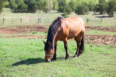 Chestnut horse eating grass in village Royalty Free Stock Photography