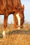 Chestnut horse eating hay at the paddock Stock Photo