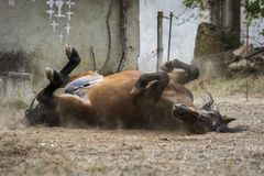 Chestnut horse enjoying a good bath of dirt and dust stock images