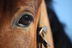 Chestnut horse eye close up Royalty Free Stock Image