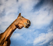 Chestnut horse face on sky background, Stock Image