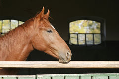 Chestnut horse in the farm behind the fence Stock Images