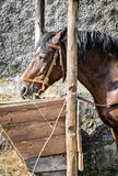 Chestnut horse are fed hay Stock Photo