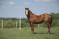 Chestnut Horse Royalty Free Stock Photos