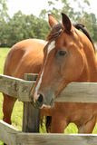 Chestnut horse in field. Chestnut horse with a white blaze in a field Royalty Free Stock Image