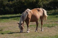 Chestnut horse. Stock Image