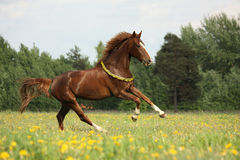 Chestnut horse with flower cilrclet galloping Royalty Free Stock Photography