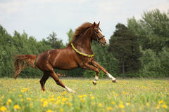 Chestnut horse with flower cilrclet galloping Stock Image