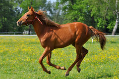 Chestnut horse at a gallop Stock Images
