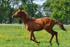 Chestnut horse at a gallop Stock Photography