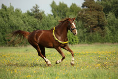 Chestnut horse galloping at dandelion field Stock Photo