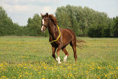 Chestnut horse galloping at dandelion field Stock Photos
