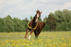 Chestnut horse galloping at dandelion field Royalty Free Stock Images