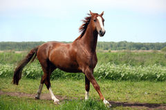 Chestnut horse galloping at the field. Beautiful chestnut horse galloping at the field with flowers Royalty Free Stock Photos