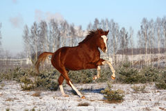 Chestnut horse galloping free in winter Royalty Free Stock Image