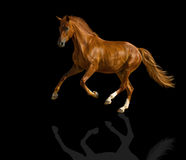 Chestnut horse. Chestnut horse is galloping freely Stock Photography