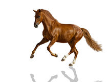 Chestnut horse. Chestnut horse is galloping freely Royalty Free Stock Photography