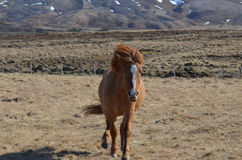 Chestnut Horse Galloping in Iceland Stock Photos