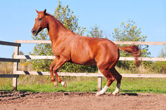 Chestnut horse galloping in paddock Royalty Free Stock Photography