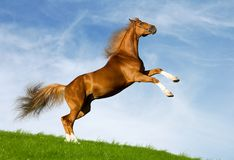 Chestnut horse gallops. On a green hill Royalty Free Stock Photo