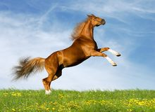 Chestnut horse gallops in field Stock Photo