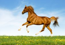 Chestnut horse gallops in field Stock Photos
