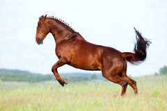 Chestnut horse gallops in field. In summer Royalty Free Stock Image
