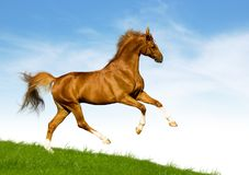 Chestnut horse gallops on a green hill Royalty Free Stock Image