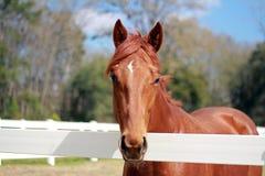 Chestnut Horse. Chestnut gelding standing in field Stock Images