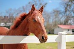 Chestnut Horse. Chestnut gelding standing in field Stock Photos