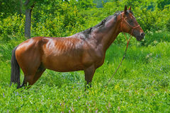 Chestnut Horse in Grass Royalty Free Stock Images