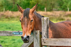Chestnut Horse in Grass Royalty Free Stock Photo
