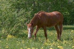 Chestnut horse grazing royalty free stock image