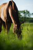 Chestnut horse grazing Royalty Free Stock Photos