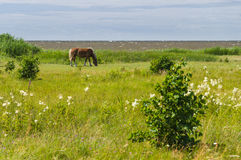 Chestnut horse grazing on windy field by the sea Stock Photos