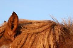 Chestnut horse hair. The chestnut horse hair on the blue Royalty Free Stock Photos