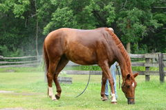 Chestnut horse having a bath Royalty Free Stock Photos