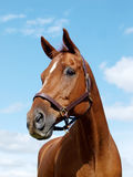 Chestnut Horse Head Stock Photography