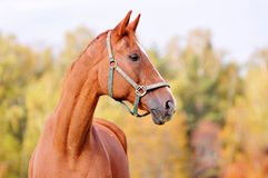 Chestnut horse head, autumn background. Royalty Free Stock Image