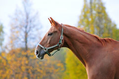 Chestnut horse head, autumn background Stock Image