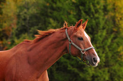 Chestnut horse head, autumn background Stock Photos