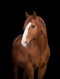 Chestnut horse head on black Royalty Free Stock Photos
