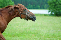 Chestnut horse head Royalty Free Stock Image