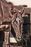 Chestnut horse head Stock Photos