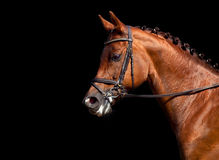 Chestnut horse head isolated. Chestnut horse head in bridle isolated on black background Stock Image