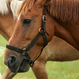 Chestnut horse head portrait Stock Photos