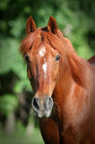 Chestnut Horse head shot Stock Photo